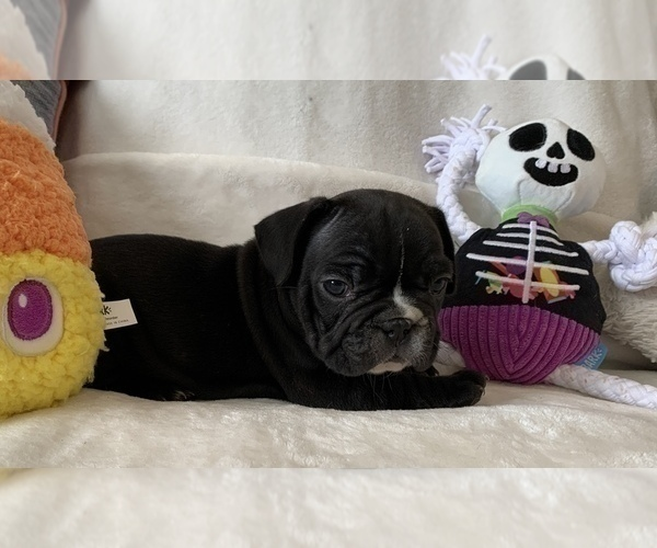 Medium Photo #7 French Bulldog Puppy For Sale in JOHNS ISLAND, SC, USA