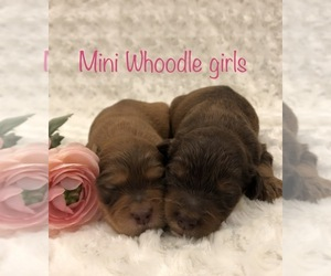 Poodle (Miniature)-Soft Coated Wheaten Terrier Mix Puppy for Sale in DOSS, Missouri USA