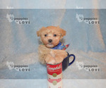 Small #5 Maltipoo-Poodle (Toy) Mix
