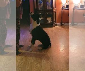Boxer Puppy for Sale in FLETCHER, North Carolina USA