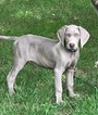 Weimaraner Puppy For Sale in CRESTWOOD, KY, USA