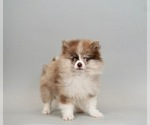 Puppy 0 Pomeranian