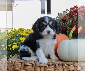 Cavachon Dog for Adoption in GORDONVILLE, Pennsylvania USA