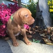 Vizsla Puppy For Sale in WARSAW, IN, USA