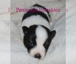 Small #2 Pomsky