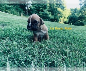 Boxer Puppy for Sale in GOODLETTSVILLE, Tennessee USA
