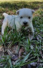 West Highland White Terrier Puppy For Sale in EDGEFIELD, SC