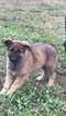 German Shepherd Dog Puppy For Sale in HAMMONTON, NJ, USA