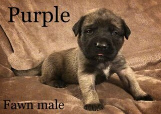Mastiff Puppy For Sale in MANSFIELD, OH, USA