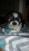 Shih Tzu Puppy For Sale in GRIFFIN, GA