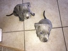 American Pit Bull Terrier Puppy For Sale in SUN CITY, CA,