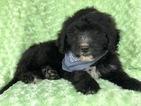 Miniature Bernedoodle Puppy For Sale in CEDAR LANE, PA, USA
