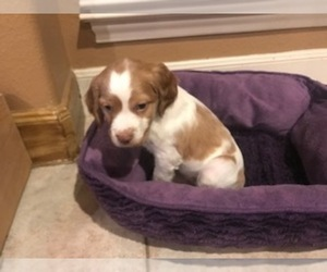 Brittany Puppy for Sale in SAN ANTONIO, Texas USA