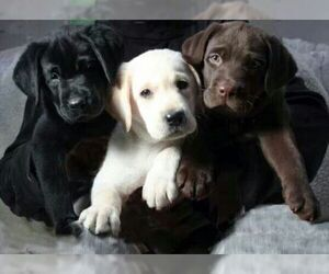 Labrador Retriever Puppy for Sale in MONROE, Georgia USA