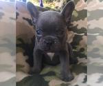 Small #30 French Bulldog