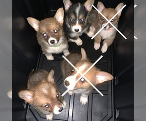 Pembroke Welsh Corgi Puppy for sale in BAYTOWN, TX, USA