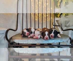 Aussie-Poo-Aussiedoodle Mix Puppy for sale in COLLEGE STA, TX, USA