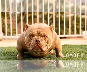 Father of the American Bully puppies born on 06/18/2020