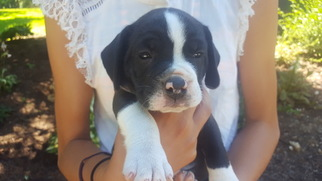 Beabull Puppy For Sale in CHRISTIANA, PA, USA