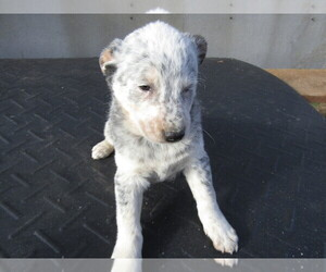 Australian Cattle Dog Puppy for sale in GR, MI, USA