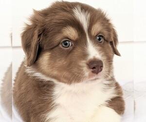 Australian Shepherd Puppy for sale in HOHENWALD, TN, USA