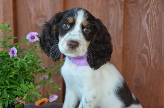 English Springer Spaniel Puppies and Dogs for Sale in USA