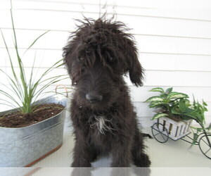 Bernedoodle Puppy for sale in CHESTER, IN, USA