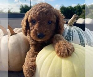 Cavapoo-Poodle (Miniature) Mix Dog for Adoption in GAP, Pennsylvania USA