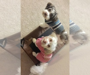 Havanese Puppies for Sale near Winston Salem, North Carolina