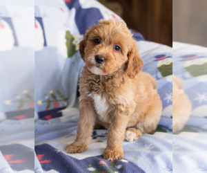 Goldendoodle Puppy for sale in MILWAUKEE, WI, USA