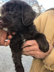 Goldendoodle-Poodle (Standard) Mix Puppy for Sale in BOWIE, Maryland USA