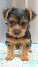Yorkshire Terrier Puppy for Sale in HEMET, California USA