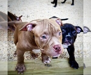 American Bully Puppy for Sale in TOMS RIVER, New Jersey USA
