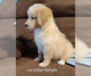 Australian Retriever Puppy for sale in DAVENPORT, FL, USA