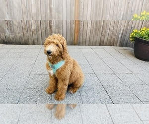 Goldendoodle Puppy for sale in LYNNWOOD, WA, USA