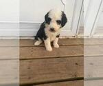 Image preview for Ad Listing. Nickname: sheepadoodle