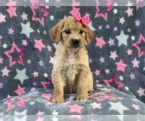 Goldendoodle Dog for Adoption in LAKELAND, Florida USA