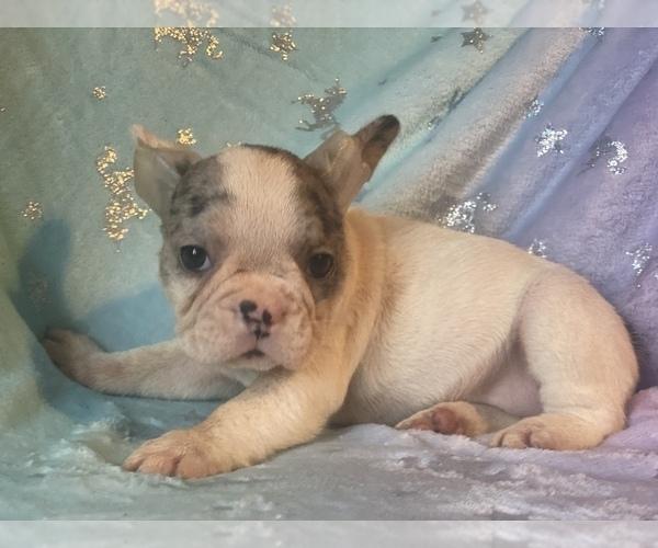 Medium Photo #1 French Bulldog Puppy For Sale in HAMDEN, CT, USA