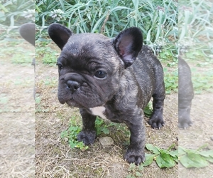 French Bulldog Puppy for sale in SOUTH WHITLEY, IN, USA
