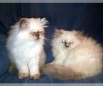 Himalayan kittens cfa Omaha Nebraska