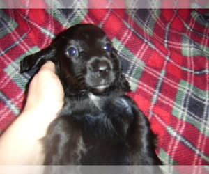 Dachshund Puppy for sale in TENINO, WA, USA