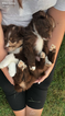 Miniature Australian Shepherd Puppy For Sale in GOULDSBORO, PA,