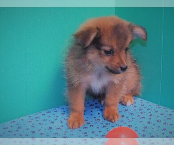 Medium Photo #5 Dameranian Puppy For Sale in PATERSON, NJ, USA