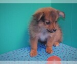 Small Photo #5 Dameranian Puppy For Sale in PATERSON, NJ, USA