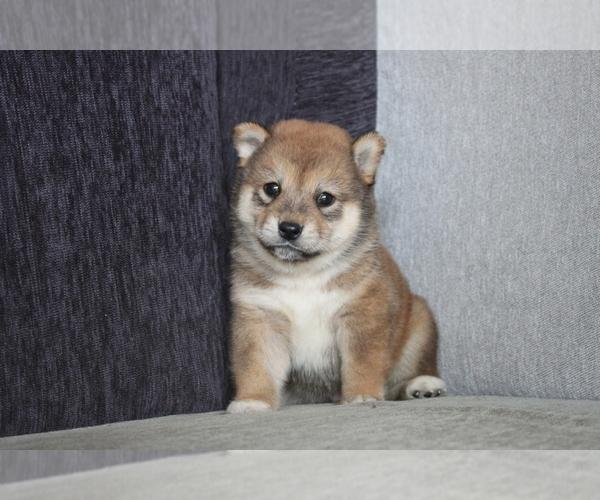 Medium Photo #7 Shiba Inu Puppy For Sale in MIAMI, FL, USA