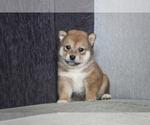 Small Photo #7 Shiba Inu Puppy For Sale in MIAMI, FL, USA