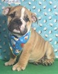 Bulldog Puppy For Sale in TAMPA, FL,
