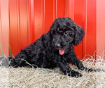 Puppy 1 Goldendoodle-Irish Doodle Mix