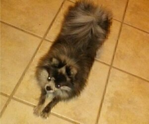 Mother of the Pomeranian puppies born on 11/10/2020