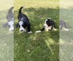 Small #5 Bernedoodle-Poodle (Standard) Mix